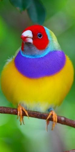 Gouldian Finch: Colorful Birds, Exotic Birds Colorful, Animals Birds
