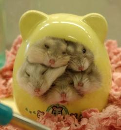 Hamster House is Over Capacity!: Animals, Stuff, Hamster House, Pets, Hamsters, Adorable, Things, Funny Animal, Dwarf Hamster