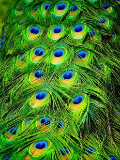 have been a bit obsessed with Peacock colors lately.: Peacock Feathers, Colour, Peacocks, Color, Green, Birds, Photo, Animal