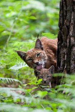 How do your parents take care of you? | 1st grade | writing prompt | photo prompt | elementary writing: Animals, Big Cats, Nature, Mother, Bigcats, Lynx, Baby, Wild Cats