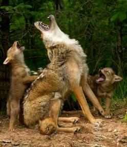 """Howling lessons - yes, a real photo - by Debbie DiCarlo, a longtime nature photographer, who says: """"I was attending a photography workshop in Hinckley, Minnesota, where I had the opportunity to take photos of adorable baby animals,"""" she wrote in a"""