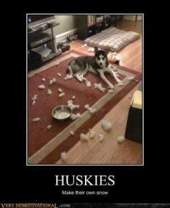 Huskies make their own snow- VERY TRUE!!  There is a pile on the floor as I type!: Funny Animals, Siberian Husky, Snow Huskies, Truth, Cutest Animals, Funny Stuff, Siberian Huskies, Dog