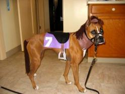 I love the tail!!  That's hilarious.  (boxer): Boxer Dogs Funny, Halloween Costumes For Dogs, Boxer Halloween Costume, Dog Costumes Boxer, Boxer Dog Costume, Dog Halloween Costumes, Horse Costume For Dog, Costume Idea, Big Dogs