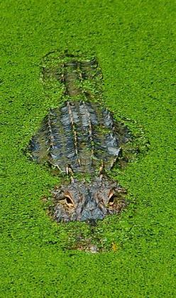 I never cared for these guys until i saw them randomly suntanning and hanging out in the water different places. You appreciate them a lot more when there not in an aquarium.   Alligator, Florida: Crocodile, Alligators, Navonco, Reptile, Florida Everglade