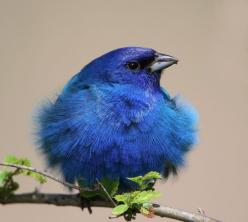 indigo bunting. ridiculously beautiful bird! great photo of feathers too.: Animals, Color, Buntings, Beautiful Birds, Indigo Bunting, Indigobunting
