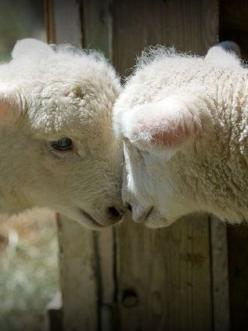 It must be love. Lambs just love playing together.: Farm Animals, Sheep Goats, Country Living, Country Kitchen, Baby Animals, Lamb, Country Life, Baaaaaaaaa S