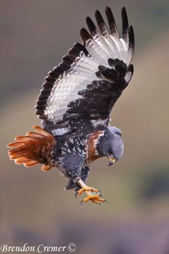jackal buzzard        (photo by brendon cremer): Eagle, Buzzard Photo, Hawks, Raptor, Brendon Creams, Beautiful Birds, Amazing Animals