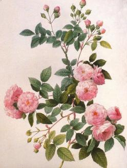Joseph-Pierre Redoute, the 'Raphael of Flowers': Pierrejoseph, Roses, Botanical, Joseph Stone Feared, Flower