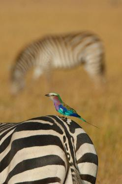 lilac breasted roller on zebra, Kenya: Greg Mcmullin, Bokeh Zebra, Zebra Colourful, Birds, Animal, Zebras
