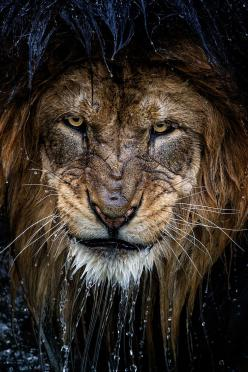 Lion: Animals, Big Cats, Eric Esterle, Bigcats, Lions, Wild Cats, King, Photo, Eye