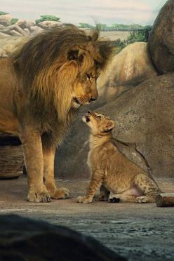 Lions - Dad and Son | Flickr - Photo Sharing!: Animals, Big Cats, Animal Kingdom, Sons, Bigcats, Wild Cats, Lions, Dads, Lion Cub
