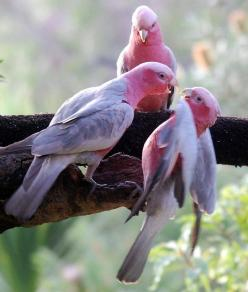 Lovely Australian birds. There is only one Australian bird thats more lovely and beautiful: Mirusia Louwerse!: Rose Breasted Cockatoo, Nature, Grey Galahs, Australian Birds, Beautiful Birds, Pink Bird, Western Australia, Animal