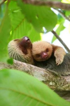 Mother Sloth and baby.: Baby Sloth, Sloths, Animals, Sweet, Mother, Sloth Snuggle, Creatures, Adorable