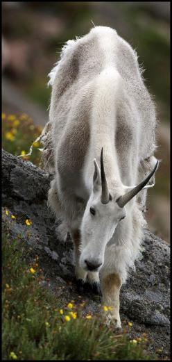Mountain Goat I've always thought that the spirit of John Muir, perhaps the love of mountains  the white beard, was in this animal.: Animals Mountain Goat, Wild Animals Photography, Beautiful Animal, Goat Animals, Rocky Mountain, Mountain Goats, Thoug