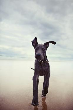 One Happy Dog!: Dane Puppies, Great Danes, Animals, Dogs, Pet, Great Dane Puppy, Greatdanes, The Beach, Friend