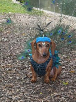 Pea-shund-think I may need some help making this I am envisioning this for mardi GRAS 2013: Animals, Peacocks, Halloween Costumes, Pet, Peacock Dachshund, Weiner, Peacock Doxie