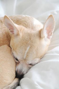 photo by creature comforts: Photos, Chihuahuas, Chihuahua Nap, Pets, Chihuahua Dogs, Puppy, Baby Animals