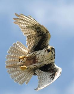 Prairie Falcon (Falco mexicanus) - a medium-sized falcon of western North America. It is about the size of a Peregrine Falcon or a crow, with an average length of 40 cm (16 in), wingspan of 1 metre (40 in), and weight of 720 g (1.6 lb). As in all falcons,