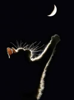 Pretty moon up in the sky, how I wish that I could fly. I'd go straight up to where you are, shining there with the bright stars.: Cats, Animal Photography, Moon Cat, Night Moon, The Moon, Kitty Moon