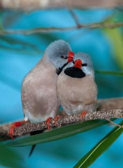 ♡ red beak hecks finch, definately of all the finches we have, they are the funniest and most inquisitive...: Long Tailed Finch, Nature, Poultry, Birdie, Beautiful Birds, Animals Birds, Air Birds, Photo