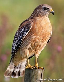 Red Shouldered Hawk - I have seen them grab squirrels and morning doves drawn to bird feeders.: Bbb Birds Birding, Morning Doves, Bird Feeders, Birds Large, Lifelist Birds, Red Shouldered Hawks, Eagles Owls Hawks, Eagle Hawks, Hawks Eagles