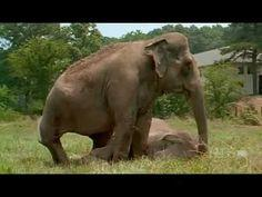 So amazingly touching - the story of Shirley and Jenny, two crippled elephants reunited at The Elephant Sanctuary in Tennessee after a 22-year separation. The bonding was immediate, intense and unforgettable between the two former circus elephants. But lo