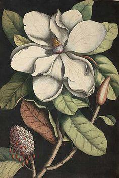 Southern Magnolia, from Mark Catesby,   The Natural History of Carolina, 1754.: Magnolias, Natural History, Botanical Prints, Bahama Islands, Botanical Illustrations, Antique Botanical, Art, Flower