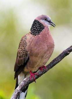 Spotted Dove (India SE Asia and introduced to Australia and elsewhere): Streptopelia Chinensis, Animals, Spotted Dove, Color, Fancy Dove, Birdie, Beautiful Birds, Pink Bird