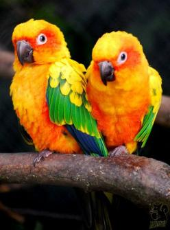 Sun Conures - Their Creator gave them SO many colors -- and they change from year to year!: Colorful Birds, Animals, Exotic Birds, Birds Parrots, Sun Conures, Beautiful Birds, Love Bird