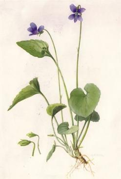 The flower symbolism associated with violets is modesty, virtue, affection, watchfulness, and faithfulness.: Botanical Prints, Botanical Drawings, Botanical Illustrations, Violet, Violets, Botanical Art, Violet Botanical, Flower