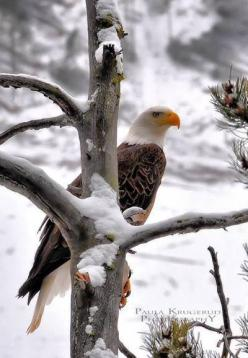 There IS hope.. the Bald eagle in snow - once endangered, now soars off the endangered list. We CAN do it, if we work together.: Majestic Eagle, American Bald, Animals, Winter, Nature, Beautiful Birds, Bald Eagles, Photo