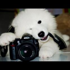 They work really well with cameras. | Undeniable Proof That Samoyeds Are Irresistible Dogs: Funny Dogs, Irresistible Dogs, Dogs Pets, Animals With Cameras, Dogs Samoyed, Funny Dog Pictures, Camera Funny Dog, Learn Camera