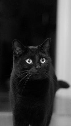 This is a beautiful black cat. It is nice to see people putting up pictures of black cats today. Thank you from The Incensewoman Happy Black Cat Tuesday to all.: Kitten, Chat Noir, Black Kitties, Black Cats, Kitty Kitty, Beautiful Black, Cats Black, Black