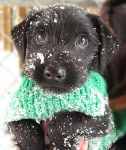 Well, hello cutie! this actually could be a scotty dog...before the ears start to go up...this is how they look believe me I know: Puppies, Animals, Dogs, Snow, Pets, Puppys, Adorable, Box