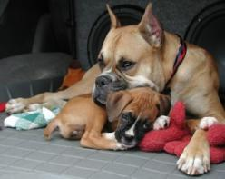 What is it about pits and boxers I love so much. Mine are bonded just like these 2.: Animals Mother, Boxer Dogs, Boxers Dogs, Pet, Awww Boxers, Beautiful Boxers, Friend, Boxer Dogie S