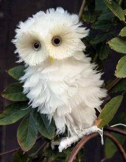 White Owl.. How cute :) I love to bird watch: Fluffy Owl, Animals, Nature, Baby Owl, White Owls, Creatures, Things, Beautiful Birds