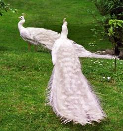White Peacocks ... Beautiful elegant birds!!: Elegant Birds, Photos, Beautiful Elegant, Peacocks Photo, Animals Birds Peacocks, Aviary Birds Owls Peacocks, White Peacocks, Albino Peacock