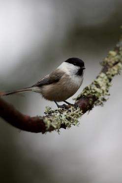 WILLOW TIT - Poecile montanus (syn Parus montanus) . . . Temperate and Sub-Arctic Europe and N Asia: Birds Birds, Breathtaking Birds, Animals, British Birds, Birds Native, Beautiful Birds, Birds Nature, Photo