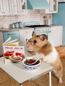 Zoey the Hamster prepares to make a recipe from my new book Hello Jell-O!: Hamster Size Hello, Animals, Pet, Hamsters, Zoey Hello, Hello Jell O, Hello Jello, Chief