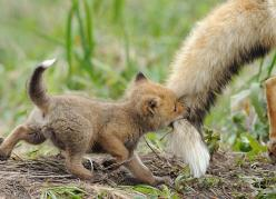23 Photos Of Animals And Their Parents That Will Melt Your Heart. The Otters Are TOO MUCH - Dose - Your Daily Dose of Amazing: Babies, Cutenes, Adorable, Baby Animals, Things, Baby Foxes, Mom