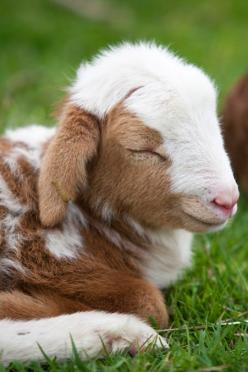 """...He makes me lie down in green pastures...""                                        Psalm 23: Farm Animals, Baby Lamb, Cute Goat, Farm Life, Sleeping Babies, Country Living, Sheep, Country Life, Baby Goats"