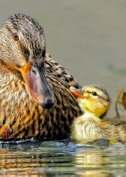 """Now listen to me son, stay close until your bigger""  ""Yes,Mum""  akl: Mothers, Baby Ducks, Duckling, Duckie, Birds, Animal"