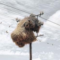 """Sociable weavers construct permanent nests on trees and other tall objects. These nests are the largest built by any bird, and are large enough to house over a hundred pairs of birds, containing several generations at a time. The nests consist of sep"