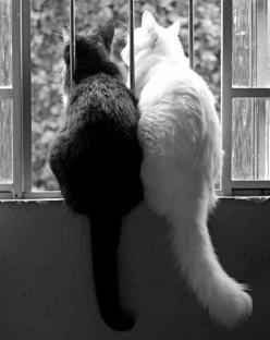 """""""There is only one happiness in life, to love and be loved"""" ~ George Sand • photo: il piccolo istrione on Facebook: Blackandwhite, Animals, Window, Black And White, White Cats, Black White, Kitty, Black Cat, Friend"""
