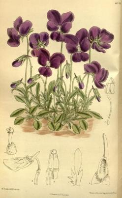 """Viola gracilis"" violets, botanical, 1914.: Scientific Illustration, Viola Gracilis, Botanical Prints, Botanical Illustrations, Art Botanical, Botanical Art"