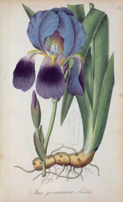 'flora' asset search - Bridgeman - Art, Culture, History: Botanical Prints, Prints Botanical, Botanical Art Illustration, Botanicals Prints Paintings, Botanical Illustrations, Iris, Art Painting