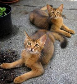 Abyssinian cats.: Long Haired Abyssinian, Animals, Somali Cats, Beautiful Cats, Abyssinian Cats, Feline, Kitty, Cat Lady