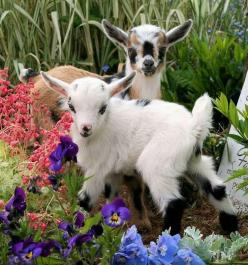 Adorable! one day when I build my dream house I'm going to have enough land to have these!!: Farm Animals, Babies, Pet, Adorable, Baby Animals, Flowers, Garden, Baby Goats, Kid