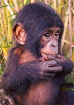 And this is why I wanted a Chimp for my pet when I was little...: Baby Monkey, Babies, Pet Monkey, Monkeys, Adorable, Box, Baby Animals, Cute Monkey, Baby Chimp