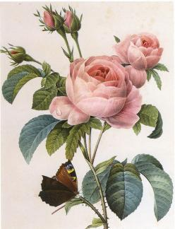 ...another vintage botanical print.  This makes me think of my Grandmother Rusty, who had camellia prints in her living room.: Vintage Flower, Botanical Illustration, Vintage Botanical Print, Vintage Illustration, Botanical Tattoo, Beautiful Flowers, Vint